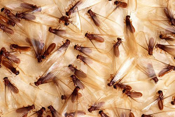 drywood termites need to be taken seriously each year termites cause    Baby Termites Look Like
